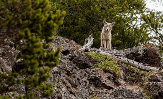 Coyote near Jackson Hole. Photo by Jackson Hole Mountain Resort