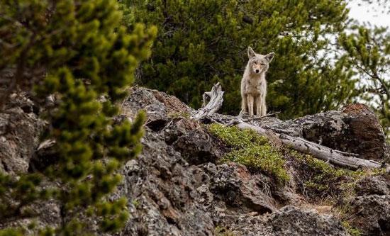 Coyote near Jackson Hole. Photo by Jackson Hole Mountain Resort