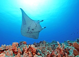 Giant manta rays in Hawaii. Photo by John Haut, Kona Divers
