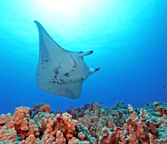 Giant manta rays in Hawaii. Photo by John Haut, Kona Divers