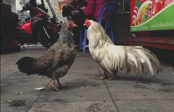 Chickens in Hanoi. Photo by Flickr/Michael Fludkov