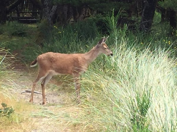 A deer hanging out just outside of my campsite