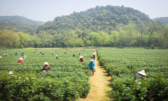 Picking tea leaves at Longjing Village. Flickr/Kenneth Moore
