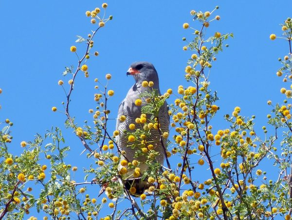 Namibia. Pale Chanting Goshawk in Acacia Tree. Photo by Jeanne Block