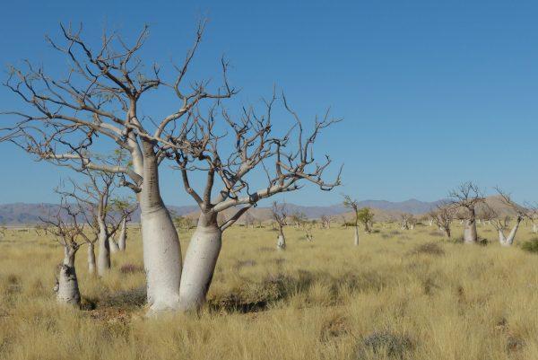 Namibia. Moringa Trees at Namib-Naukluft Lodge. Photo by Jeanne Block