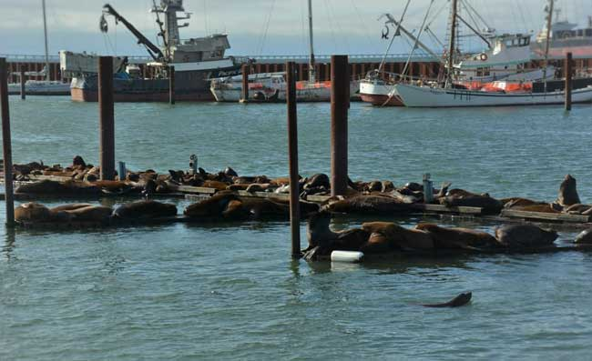 Sea Lions in Port of Astoria East Mooring Basin. Photo by Jim Pond