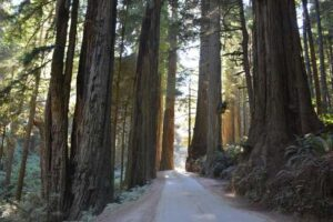 California Redwoods: Driving the Pacific Coast Highway