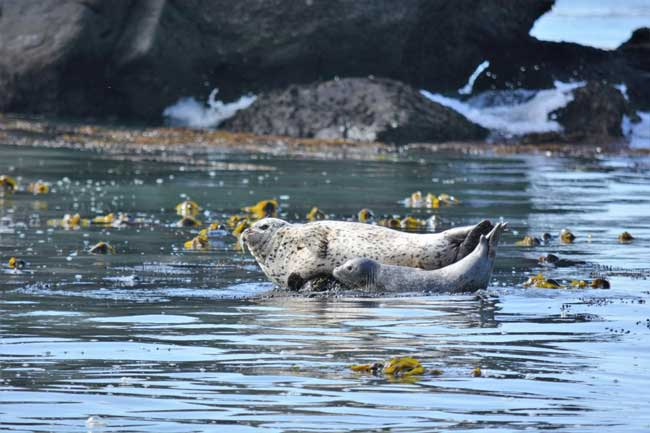 Harbor Seals in Trinidad, California. Photo by Jim Pond