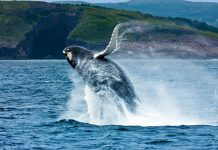 A whale breaches off the coast of Newfoundland. Photo by Barrett & MacKay Photo