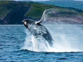 A whale breaches off the coast of Newfoundland. Photo by Barrett & MacKay Photo