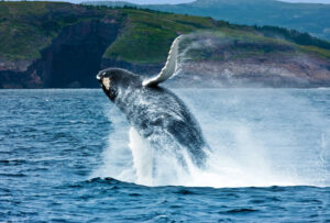 Following the Capelin: Whale Watching in Newfoundland