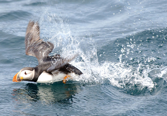 A puffin skims across the water in Newfoundland. Photo by Newfoundland Tourism