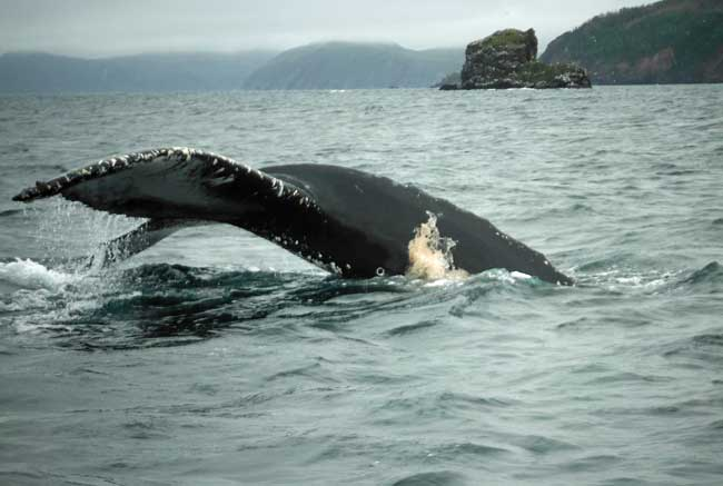 A whale dives right next to the boat. Photo by Pamela Hunt