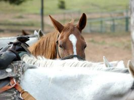 Horses wait for their riders at Horseshoe Canyon Ranch in Arkansas. Photo by Horseshoe Canyon Ranch