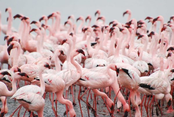 Travel in Namibia: Up close and personal with the bright pink flamingos of Walvis Bay. Photo by Emma Strumpman
