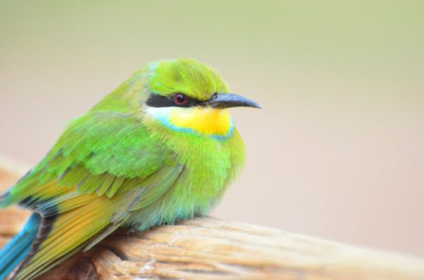 Namibia Wildlife - A bee eater, spotted while relaxing at Ai-Ais Resort. Photo by Emma Strumpman