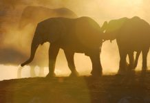 Namibia A herd of elephant at the Okaukuejo waterhole in Etosha. Photo by Emma Strumpman