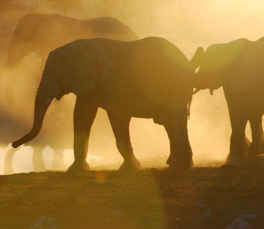 Namibia A herd of elephant at the Okaukuejo waterhole in Etosha. Photo by Emma Strumpman