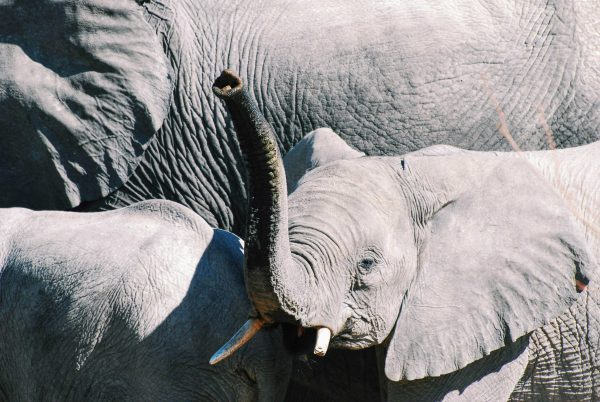 Elephants in Namibia. Baby elephants spotted while on a game-drive in Etosha National Park. Photo by Emma Strumpman