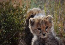 Safari in South Africa. Cheetahs play in the grass