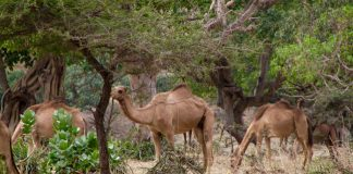 Travel in Oman - Camels eating greenery on the edge of Wadi Darbat. Photo by Chris Brauer