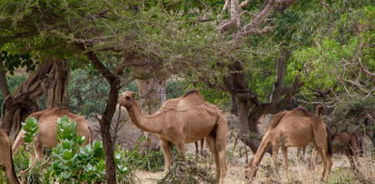 Oman: Where the Camels Drink