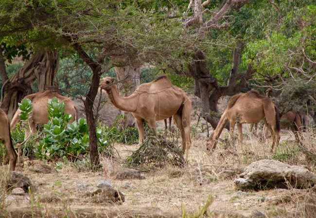 Travel in Oman - Camels eating greenery on the edge of Wadi Darbat. Photo by Paula Ebelher