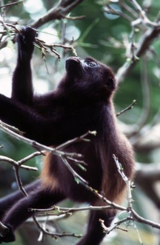 Howler monkey in the Amazon jungle. Photo by Victor Block