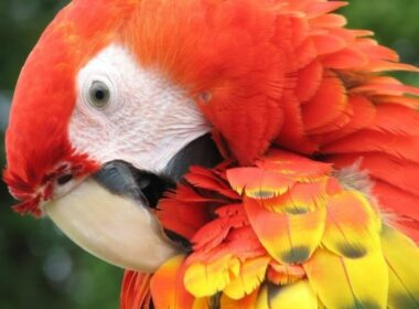 Scarlet Macaw. Photo by Victor Block in the Amazon