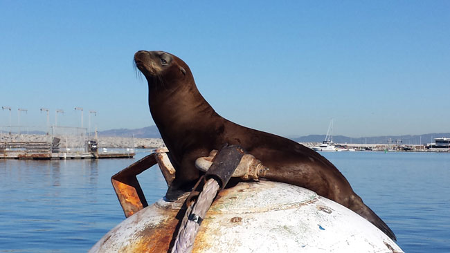 Sea lion lounging in the sun in Redondo Beach, California. Photo by Carrie Dow