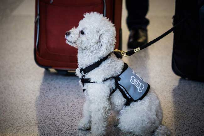 A member of the Wag Brigade at San Francisco International Airport waits to greet passengers. Photo by San Francisco International Airport