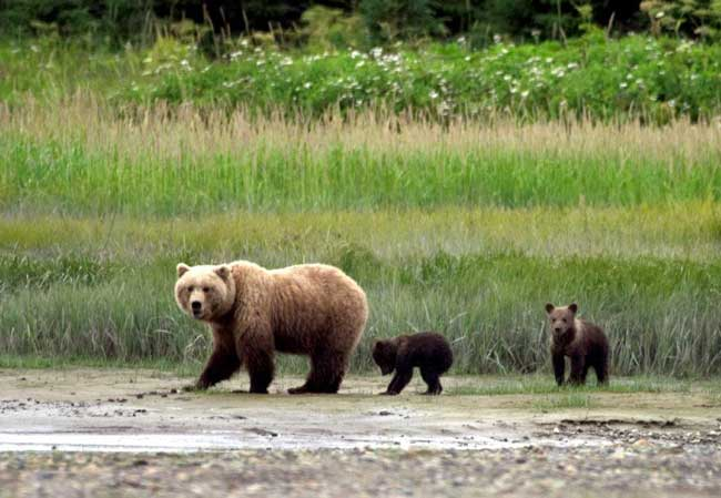 Travel in Alaska. Bear cubs follow their mother in Alaska. Photo by Victor Block