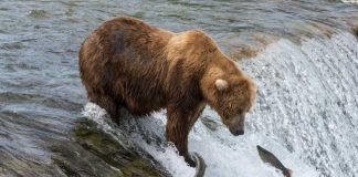 A brown bear fishes for salmon in Alaska. Flickr/hristoph Strässler