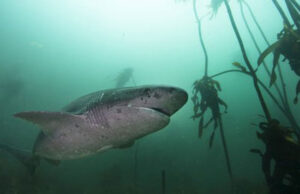 Video: Diving with the Cow Sharks of Cape Town