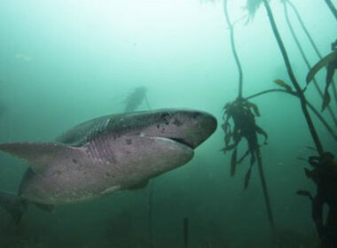 Diving with cow sharks in South Africa