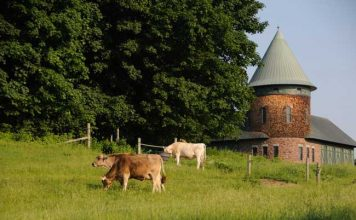 Shelburne Farms and their famous Brown Swiss cattle. Photo by Vermont Tourism