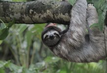 Travel in Costa Rica - Viewing a sloth