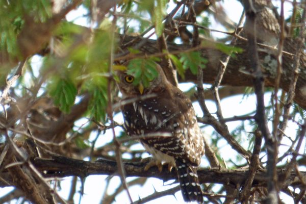 Bird Watching in Serengeti National Park. A pearl spotted owl. Photo by Rebecca Redshaw