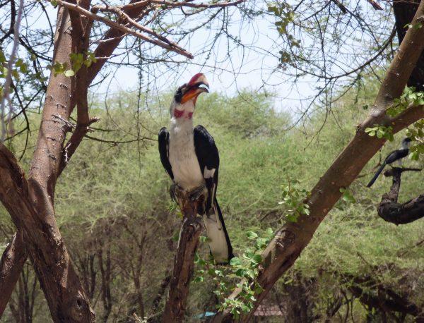 A Von DerDecken's Hornbill in Serengeti National Park. Photo by Rebecca Redshaw