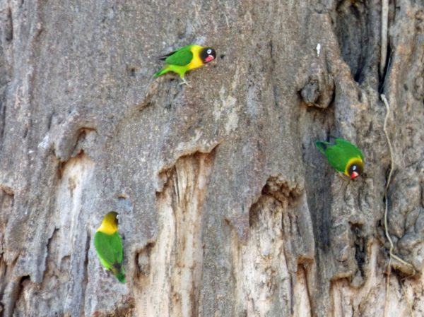 Yellow Collared Love Birds in Serengeti National Park. Photo by Rebecca Redshaw