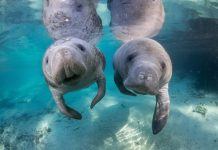 Swimming with manatees in Citrus County, Florida