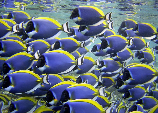 Wedding at Baros includes diving and snorkeling. A school of blue surgeonfish swim along the house reef at Baros. Photo courtesy Baros