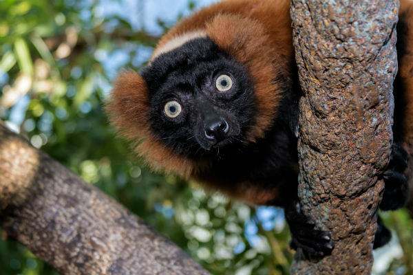Tennessee Aquarium red ruffed lemur. Photo by Tennessee Aquarium