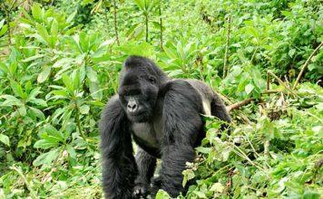 Gorilla safari in Uganda - A silverback gorilla in Uganda