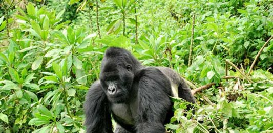 African Adventure: In Search of the Mountain Gorilla in Uganda