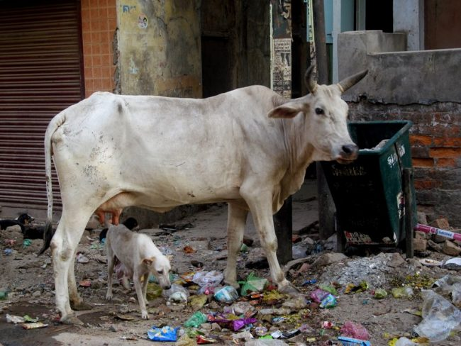 Old Delhi. A bony cow gets ready to sort through the garbage looking for dinner. Photo by Carol Bowman