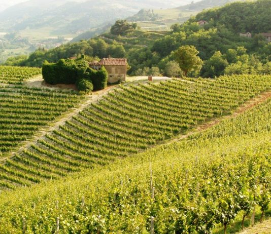A vineyard in Piedmont. Photo by Victor Block