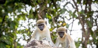 St.Kitts Vervet Monkeys. Photo by St. Kitts/Nevis Tourism