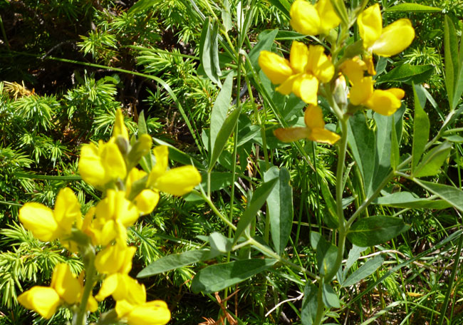 Yellow Lupine at Rocky Mountain National Park.