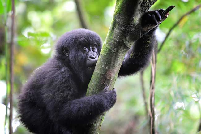 Volcanoes Safaris offers their guests the rare opportunity to see mountain gorillas in the Virunga Mountains . Photo by Volcanoes Safaris